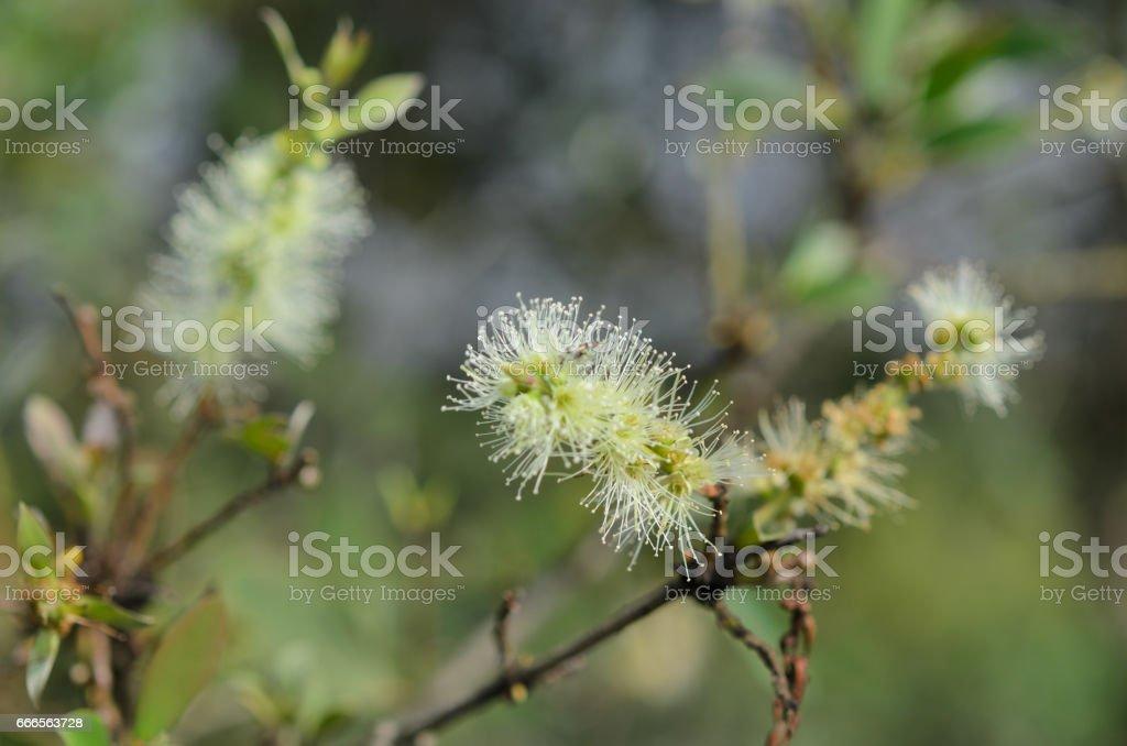 Melaleuca flower stock photo