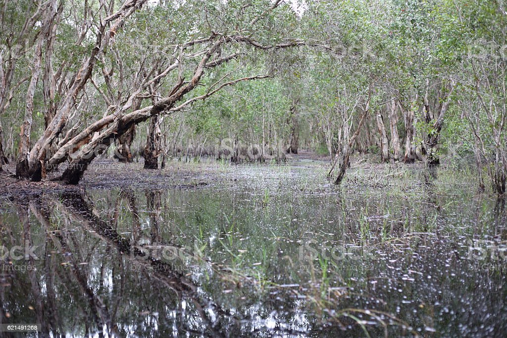 Melaleuca trees Wetland Lizenzfreies stock-foto