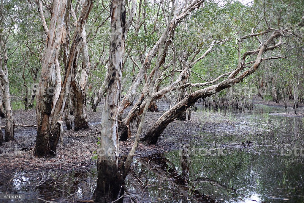 Melaleuca trees Wetland photo libre de droits