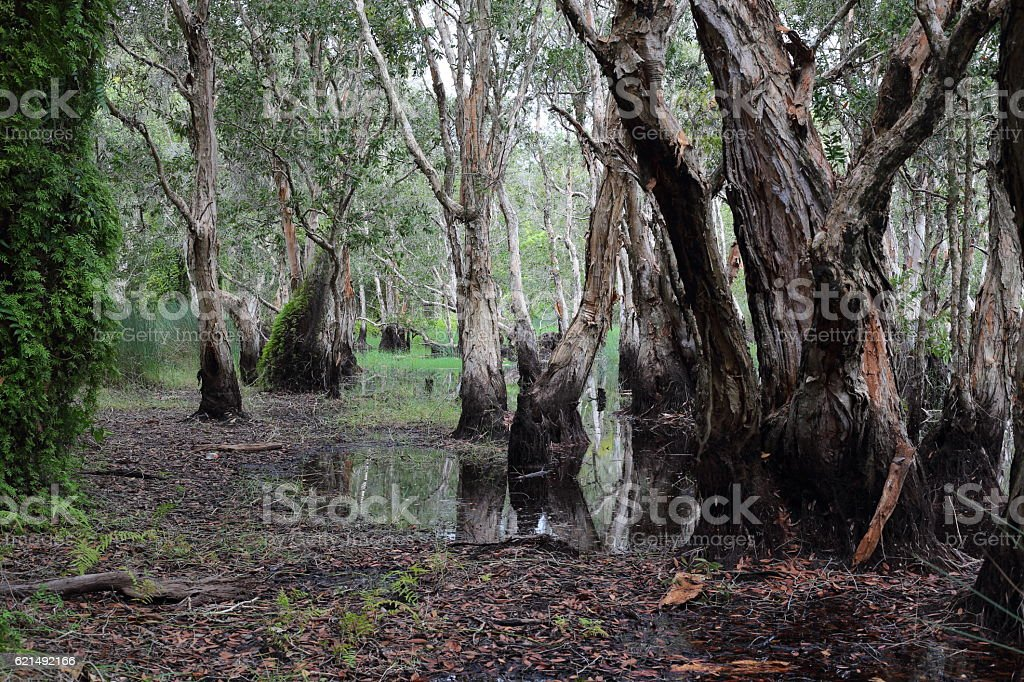 Melaleuca trees Wetland foto stock royalty-free