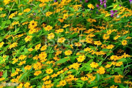 istock Melampodium / Butter Daisy Flower 1273871342