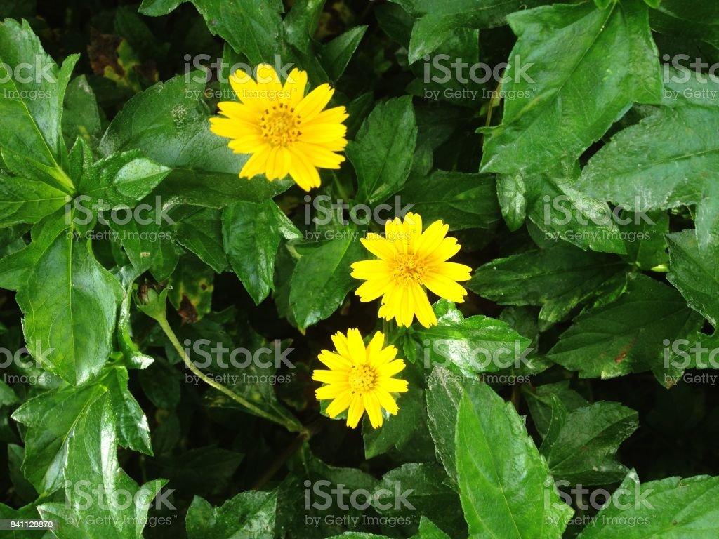 Melampodium divaricatum or little yellow star flower stock photo melampodium divaricatum or little yellow star flower royalty free stock photo mightylinksfo