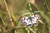Melanargia galathea detailed white butterfly in a meadow composition