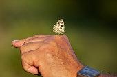 Melanargia galathea, the marbled white sucking on a human hand