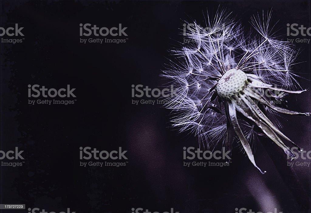 Melancholic photo of half-gone dandelion against dark violet background royalty-free stock photo