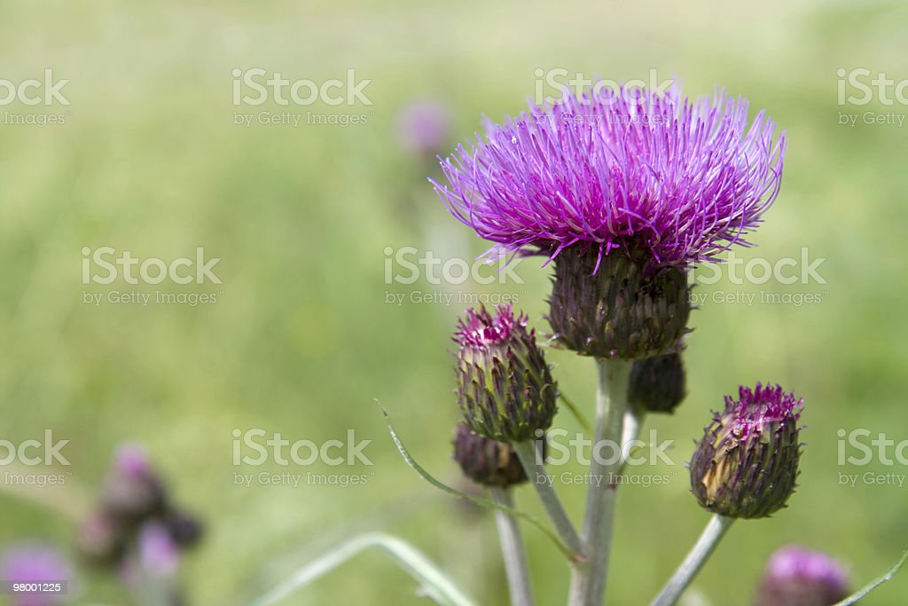 Melancholy thistle royalty-free stock photo