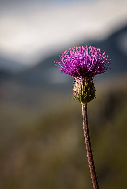 Melancholy Thistle with long leave less stem with mountain background​​​ foto