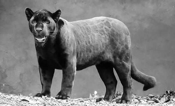 melanistische jaguar (panthera onca) in schwarz / weiß - schwarzer puma stock-fotos und bilder
