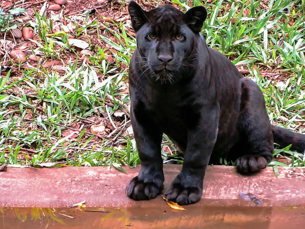 melanistische jaguar (panthera onca) auf einen natürlichen hintergrund - schwarzer puma stock-fotos und bilder