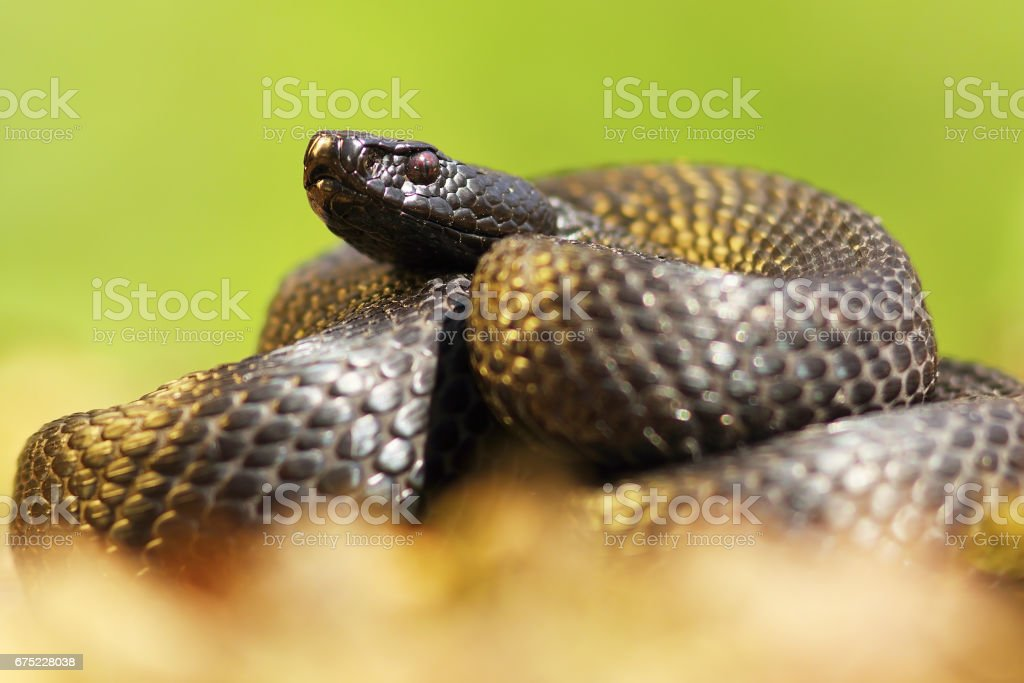 melanistic nikolsky adder closeup over green out of focus background stock photo