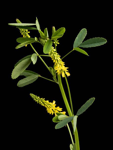 Cтоковое фото Melilot (Melilotus officinalis