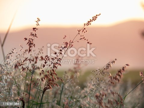 Melinis repens, Natal Red-top flower , blurry and soft focus under windy condition., Beautiful grass flowers