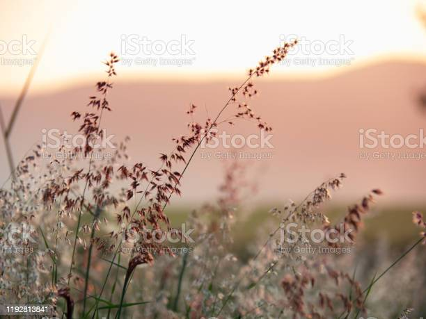 Photo of Melinis repens, Natal Red-top flower , blurry and soft focus under windy condition., Beautiful grass flowers