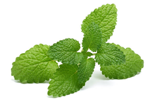 Melissa, lemon balm stock photo