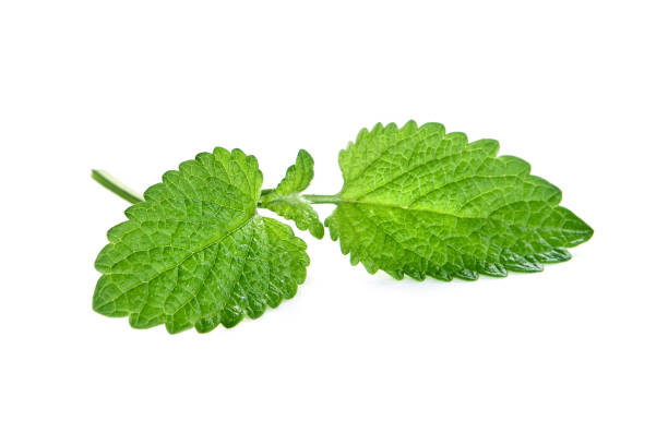 Melissa plant on a white background Melissa plant on a white background mint leaf culinary stock pictures, royalty-free photos & images