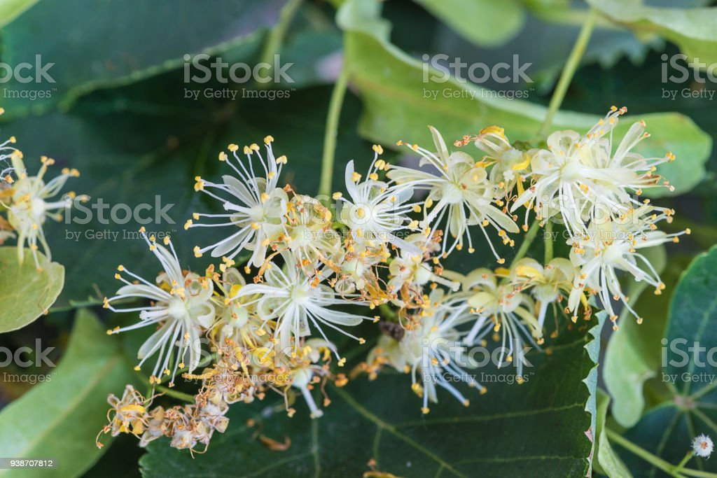 Melliferous lime blossom close up stock photo