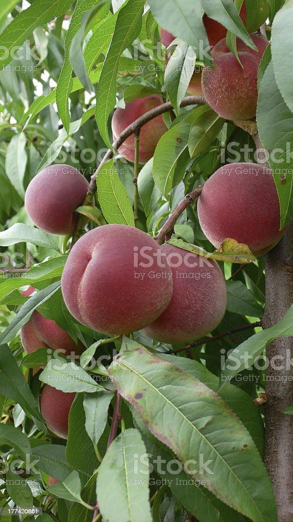 mellow peaches royalty-free stock photo