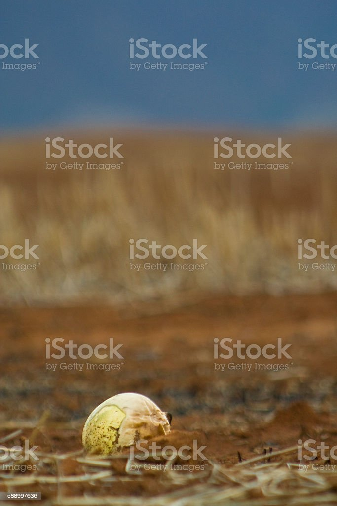 Melon grows on dirt field stock photo