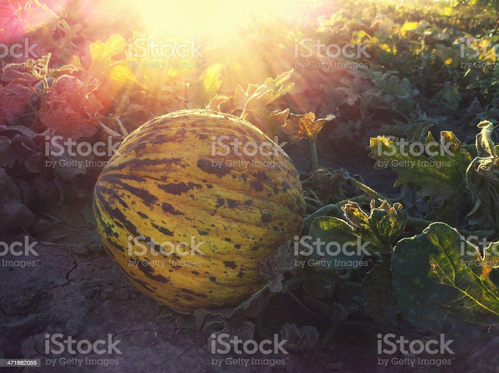 Melon in a Farm royalty-free stock photo
