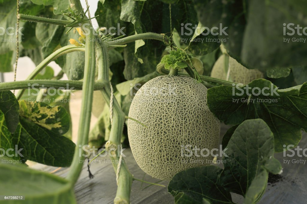 Melon Or Cantaloupe Fruit On Tree In Hydroponics Farm Stock Photo Download Image Now Istock However, no true cantaloupes are actually grown commercially in the united states. melon or cantaloupe fruit on tree in hydroponics farm stock photo download image now istock