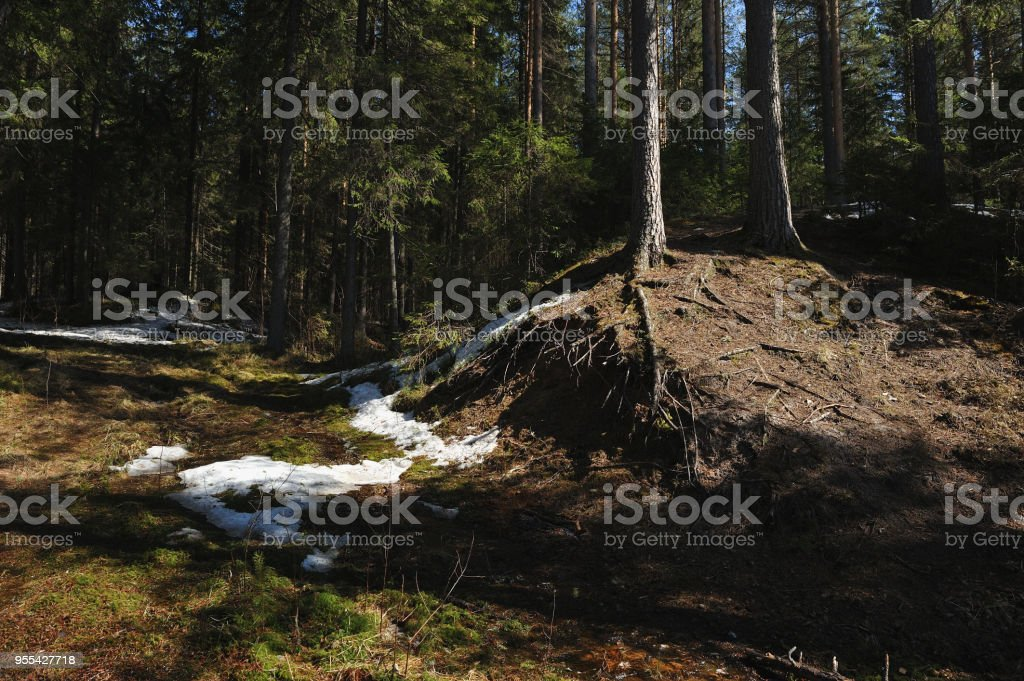 Melt water streams in coniferous forest - Zbiór zdjęć royalty-free (Drzewo)
