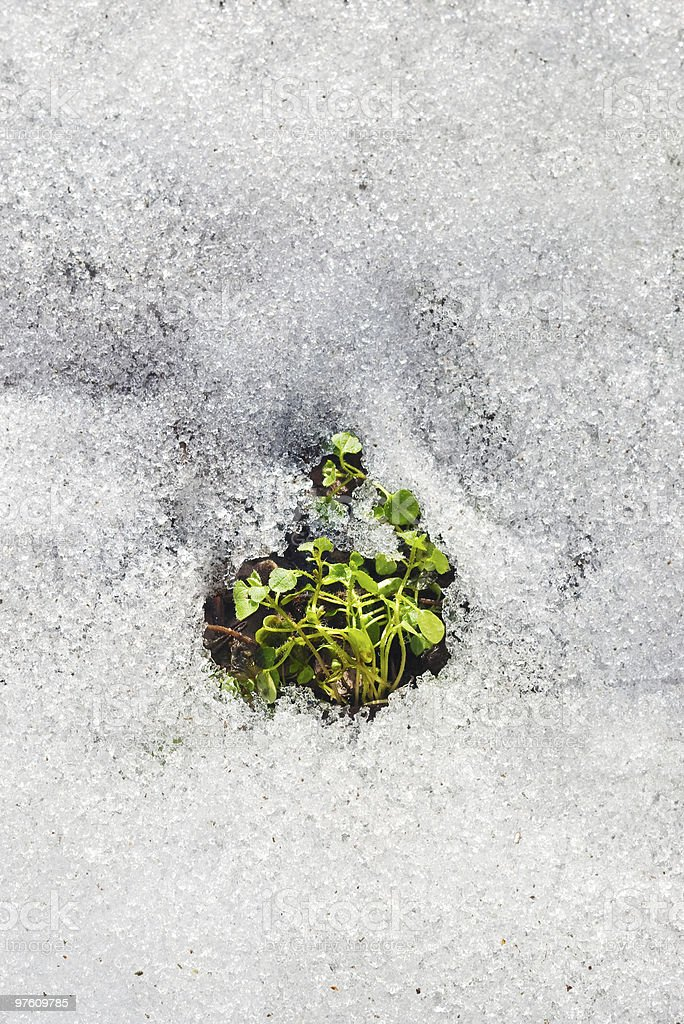 melting snow and green sprout royalty-free stock photo