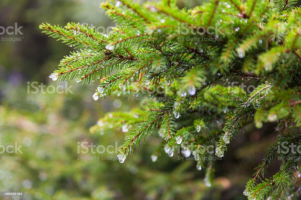 Melting snow on fir-tree branches stock photo