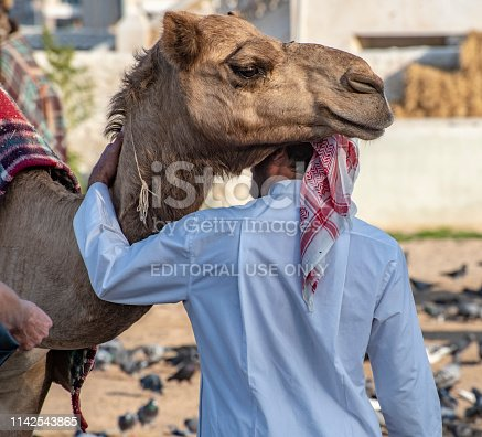 Doha,Qatar-January 16,2019 Member of the Royal Guard in Qatar, Doha, prepares his camel for the afternoon exercise. Companionship.