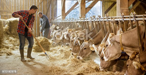 Veterinarians feeding dry grass to cows in shed.