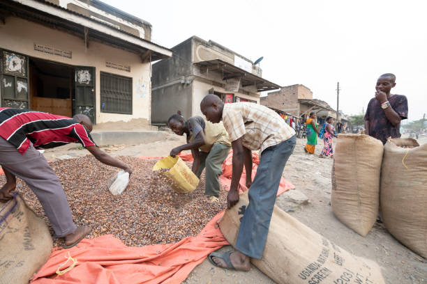 Men fill bags with cacao beans on street in Ntandi village, Uganda. stock photo