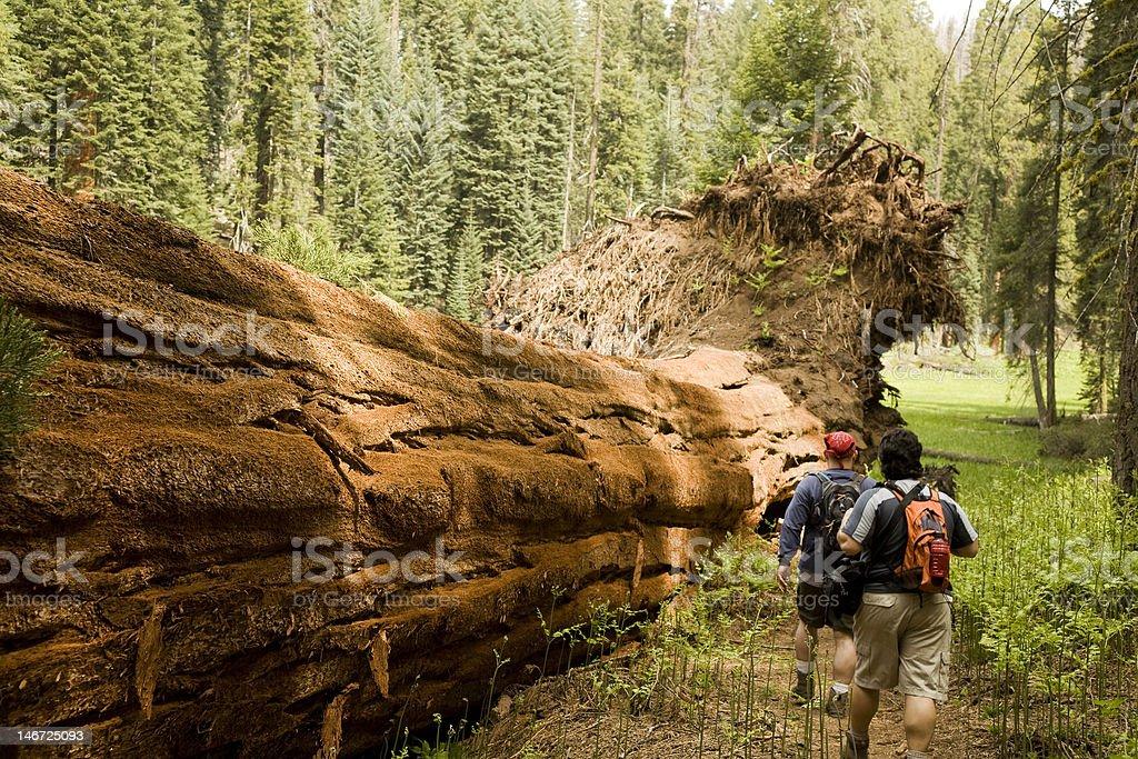 Men Hiking Along Fallen Redwood Tree stock photo