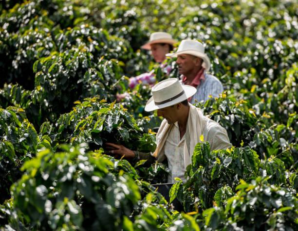 men working at a coffee farm collecting coffee beans - coffee farmer foto e immagini stock