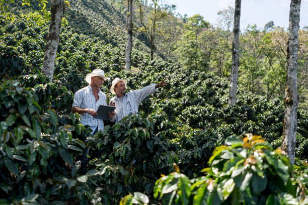 men working at a farm harvesting coffee - coffee farmer foto e immagini stock