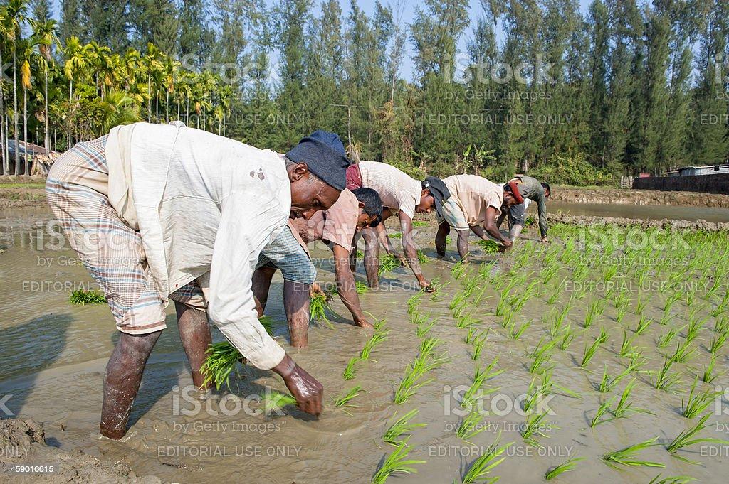 Men working in paddy field stock photo