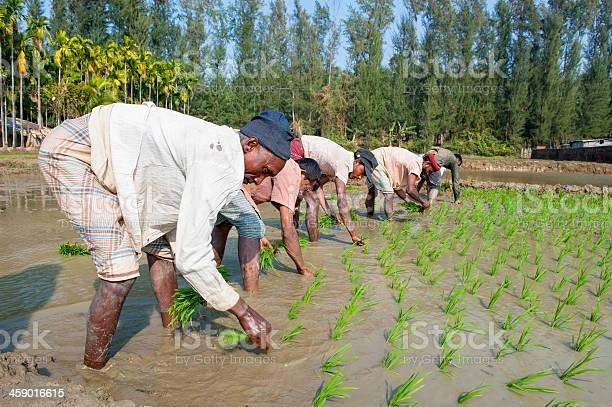 Men working in paddy field