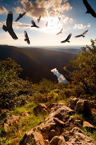 Menacing Circling Turkey Vultures