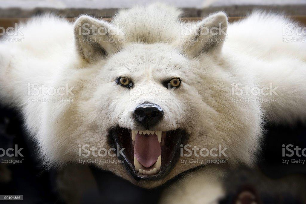Menacing wolf skin stock photo