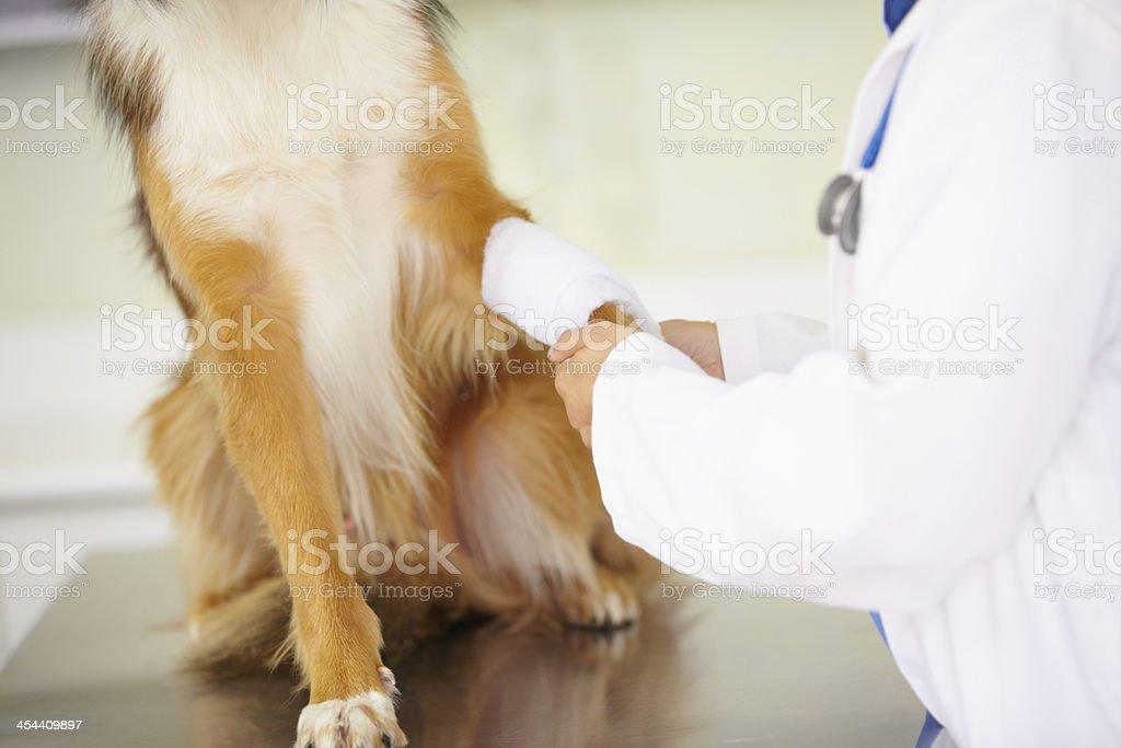 Mending an injured paw royalty-free stock photo
