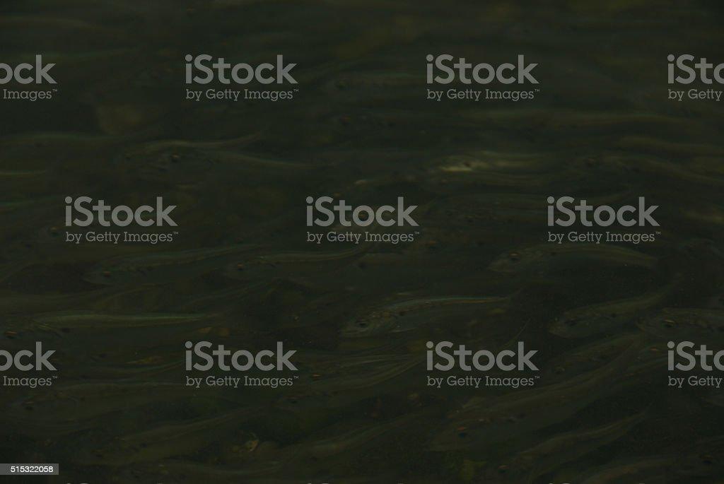 Menhaden school, understated, underwater stock photo