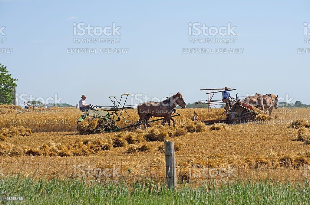 Mennonite Farmers Harvesting Wheat stock photo