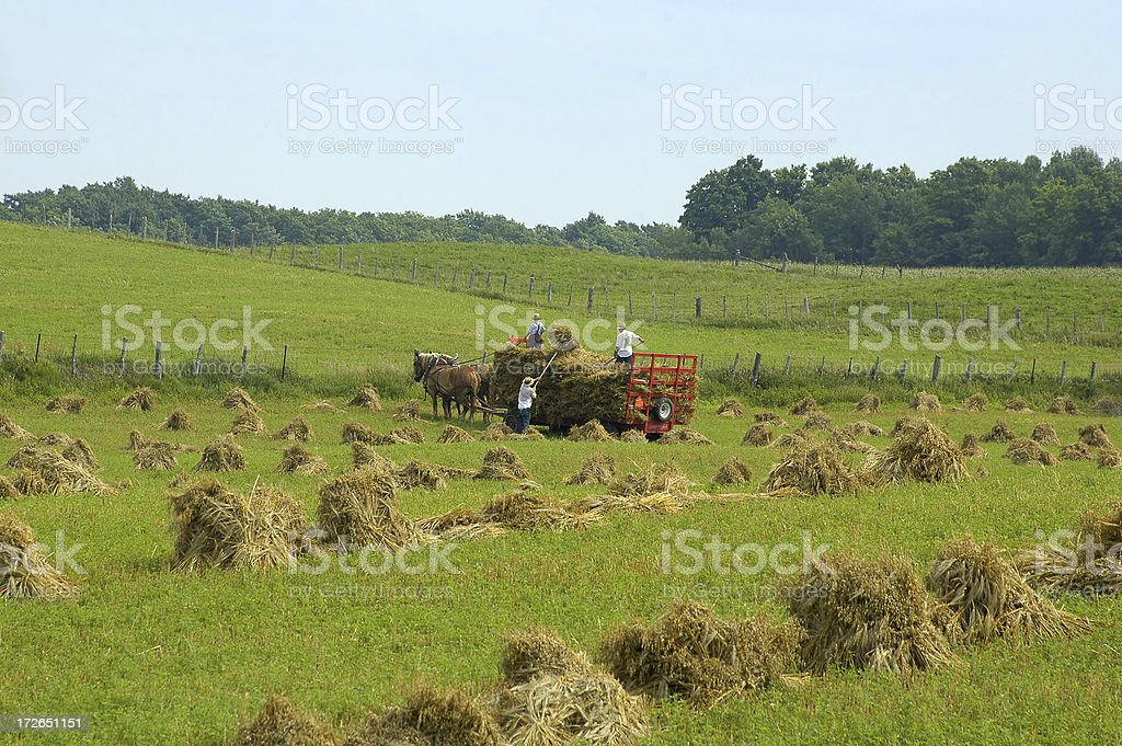 Mennonites Havesting stock photo