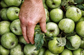 Men's hands hold a box with green simirenka apples. Pick and pick apples. Concept, autumn harvesting of apples