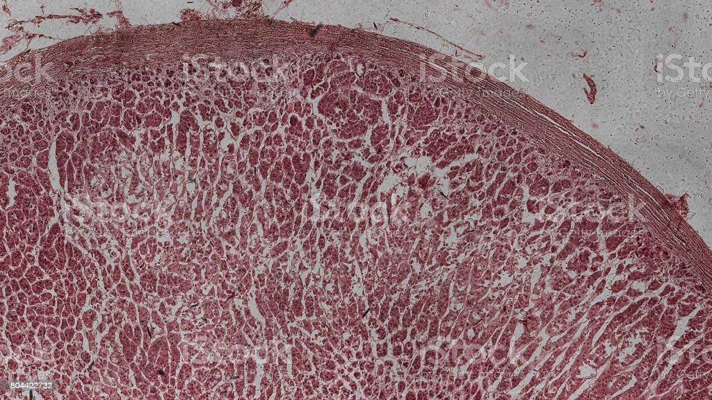 menschliche Nebenniere Zellen unter dem Mikroskop stock photo