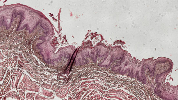menschliche Zunge Zellen unter dem Mikroskop Anatomie / Histologie / Pathologie - Zunge physiology stock pictures, royalty-free photos & images