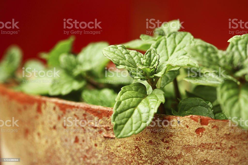 Mentha, Mint in Pot Kitchen Herbs Garden royalty-free stock photo