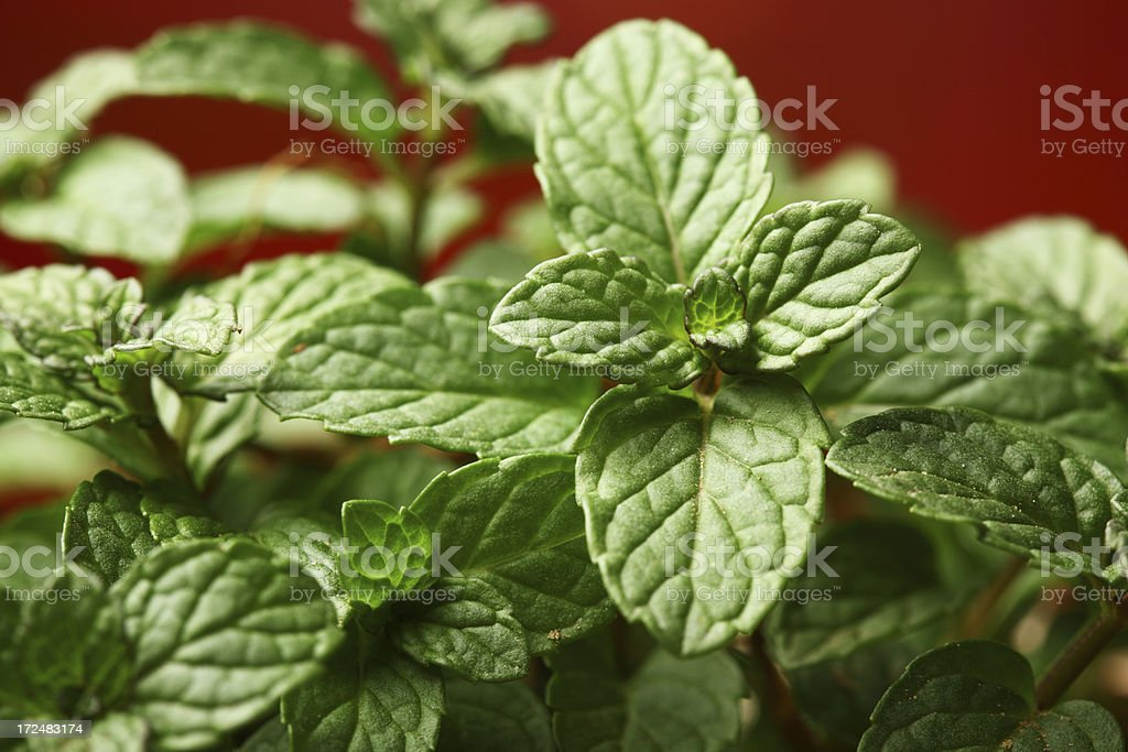 Mentha, Mint in Pot Kitchen Herbs Garden royalty-free stock photo