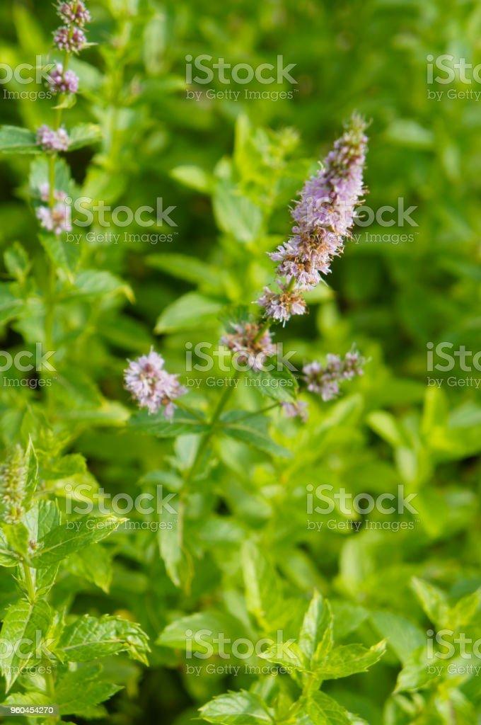 Mentha Piperita Or Peppermint Or Hybrid Mint Grren Foliage