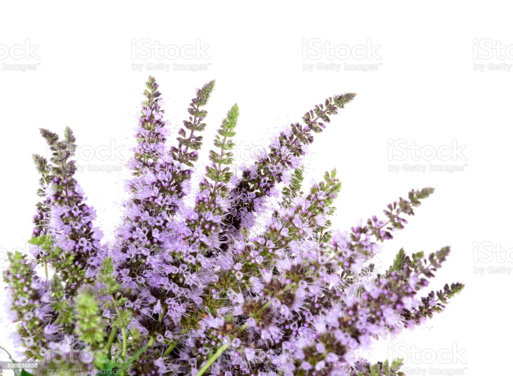 Mentha spicata (Spearmint, Spear Mint) stock photo