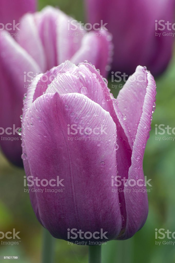Menton tulip royalty-free stock photo