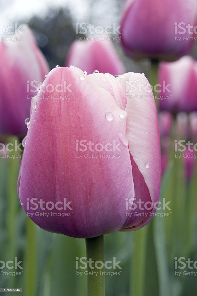 Menton tulip royalty-free stock photo